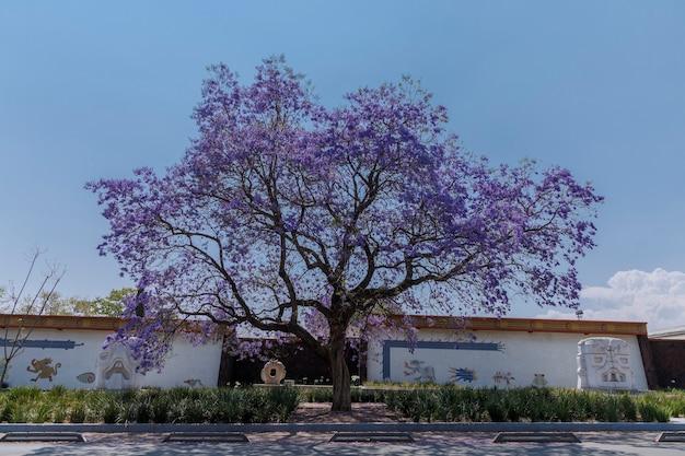 チャプルテペクの第2セクションの通り沿いのジャカランダの木