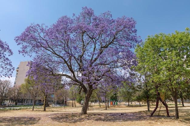 チャプルテペク公園のジャカランダの木