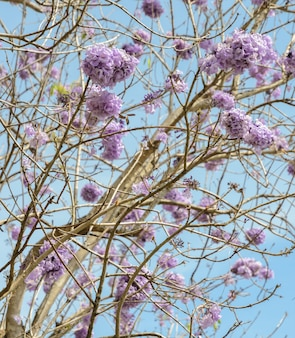 Jacaranda tree with lilac blossom in blue sky