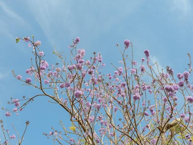 ライラックの花が咲くジャカランダの木