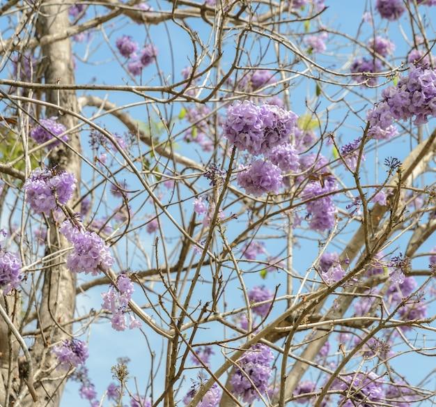 ライラックの花とジャカランダの木