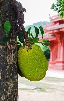 木の上のジャックフルーツ