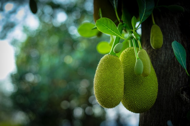 Jack fruits hanging on trees in a garden