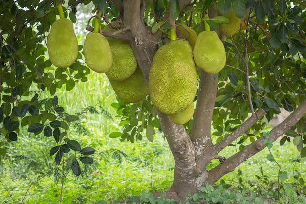 Jack fruits hanging in trees in a tropical fruit garden