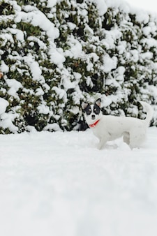 Jack russel dog in the snow
