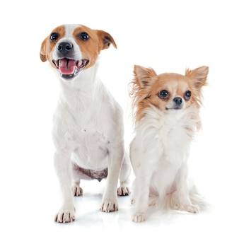 Jack russel terrier and chihuahua