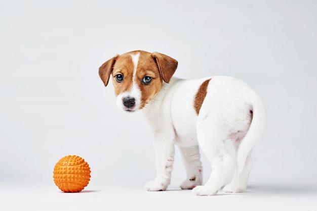 白い背景の上の小さなオレンジ色のおもちゃのボールを持つジャックラッセルテリア犬
