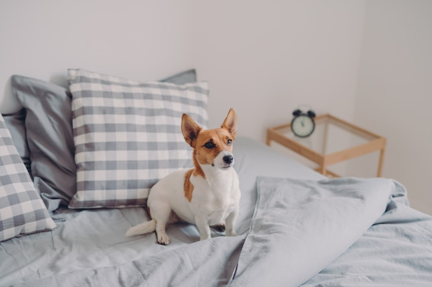 Jack russel terrier poses on unmade bed, being domestic animal, poses in cozy bedroom