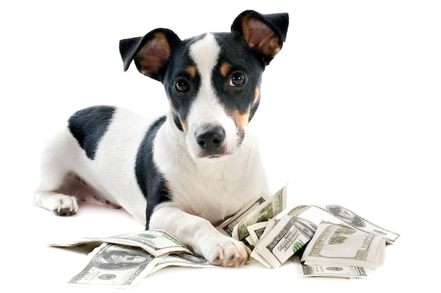 Jack russel terrier with dollars on white
