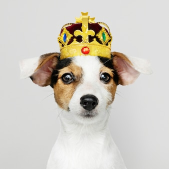 Jack russel wearing crown
