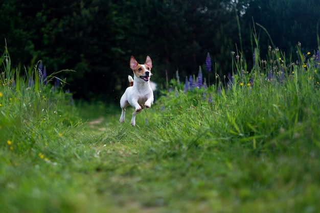 Jack russell in the air
