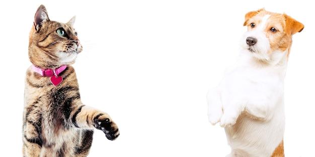 Джек рассел и бенгальский кот позируют в студии и смотрят в камеру. смешанная техника