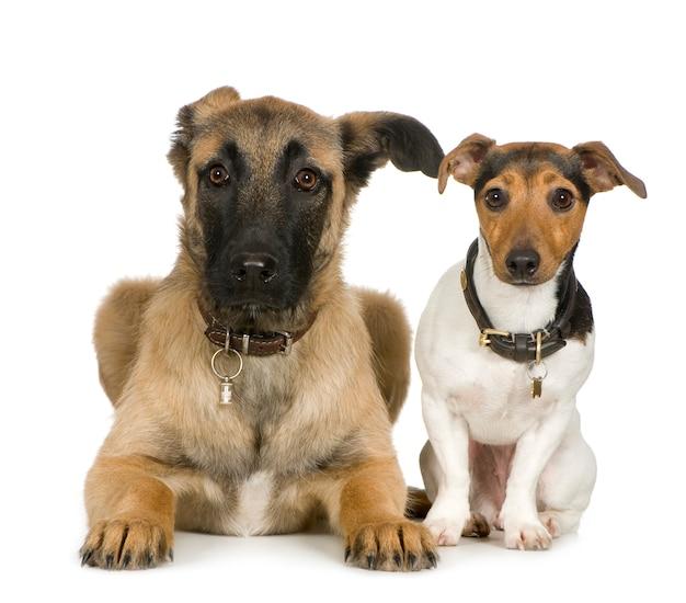 Джек рассел и скрещенные собаки портрет изолированные