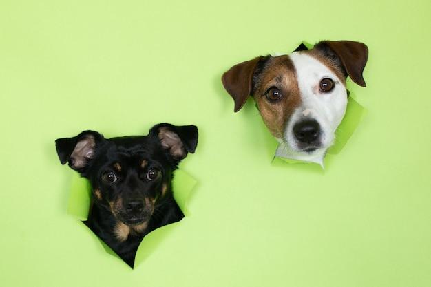 Собака джек рассел и маленькая черная собака на зеленом фоне. из норы на цветном фоне выступают морды двух собак.
