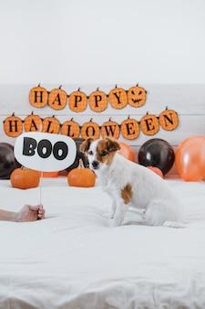 ハロウィーンの装飾が施された自宅でジャックラッセル犬