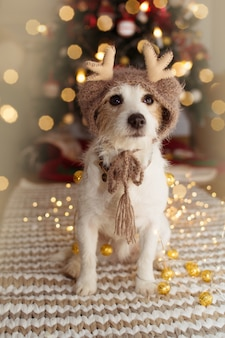 Jack russell dog under christmas tree lights celebrating holidays wearing a reindeer hat.