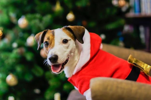 サンタの衣装を着たジャックラッセル犬