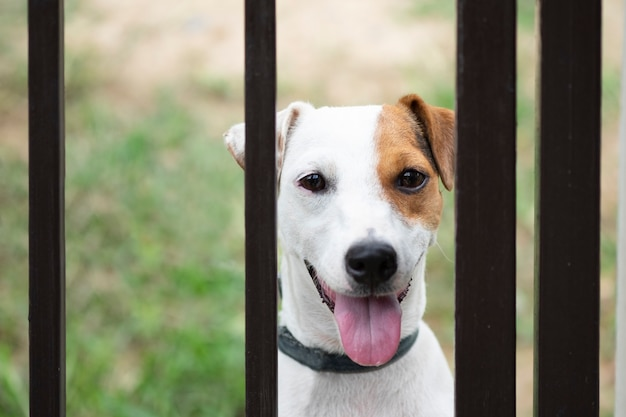 Jack russell dog behind metal fence