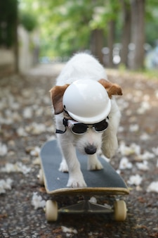 Jack russell dog on skateboard wearing an helmet and sunglasses