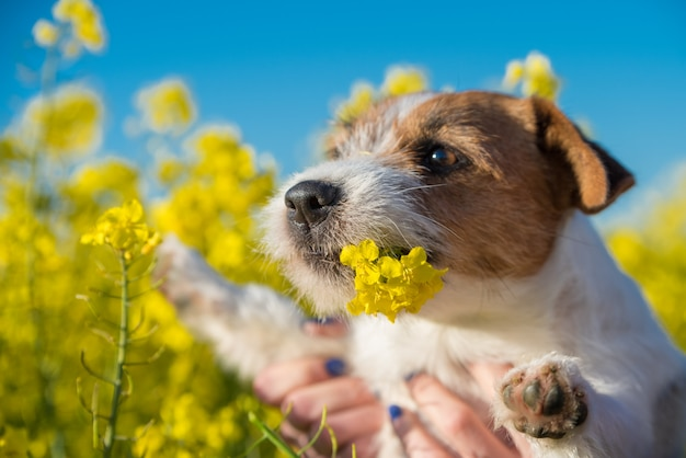 Jack russell dog sniffing yellow wraps flowers