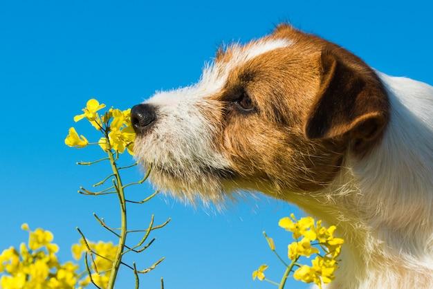 Собака джек рассел нюхает желтые цветы