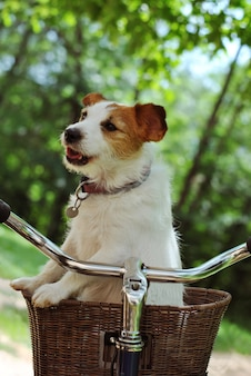Jack russell dog traveling  in a bike or bicycle  basket carrier on natural green background