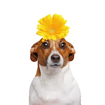 Jack russell dog with flowers in his hand isolated in white background.