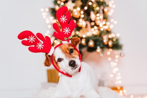 크리스마스 트리 집에서 산타 diadem과 잭 러셀 개