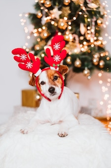 Jack russell dog with santa diadem at home by the christmas tree