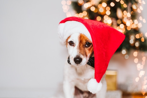 Jack russell dog with santa hat at home by the christmas tree