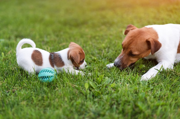ジャックラッセル犬が草の牧草地で遊んで。夏の公園の外の子犬と大人の犬。