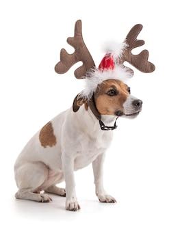 Джек рассел на рождественские каникулы в студии на белом фоне