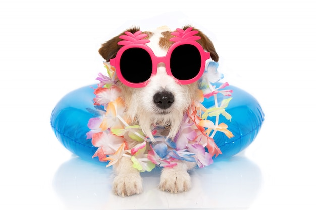 Jack russell inside a inflatable  wearing  sunglasses.