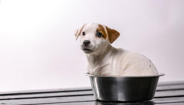 Щенок джека рассела сидит в пустой миске с грустным видом. домашние животные в помещении. концепция питания.