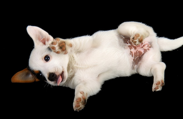 Jack russell puppy isolated on black wall