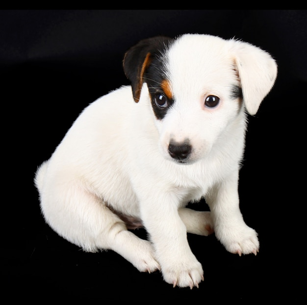 Jack russell puppy isolated on black wall Free Photo