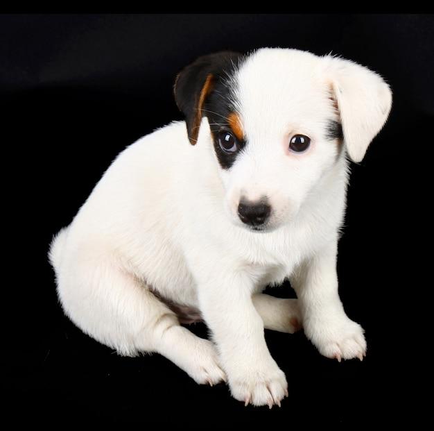 黒い壁に隔離されたジャックラッセル子犬