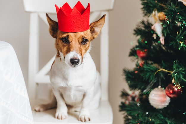 Jack russell, small dog in red paper crown, sits near decorated christmas tree
