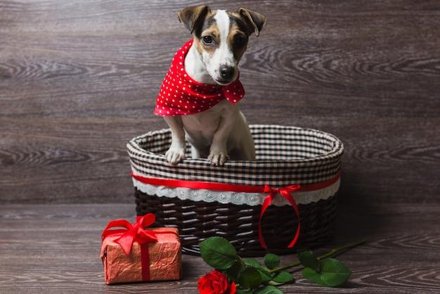Jack russell terrier in brown basket