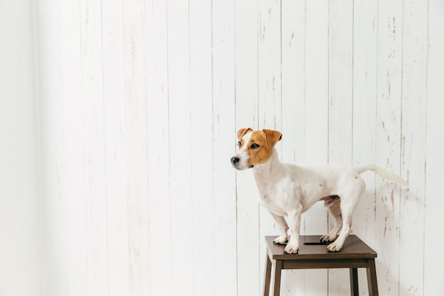 Jack russell terrier on chair poses against white wooden wall
