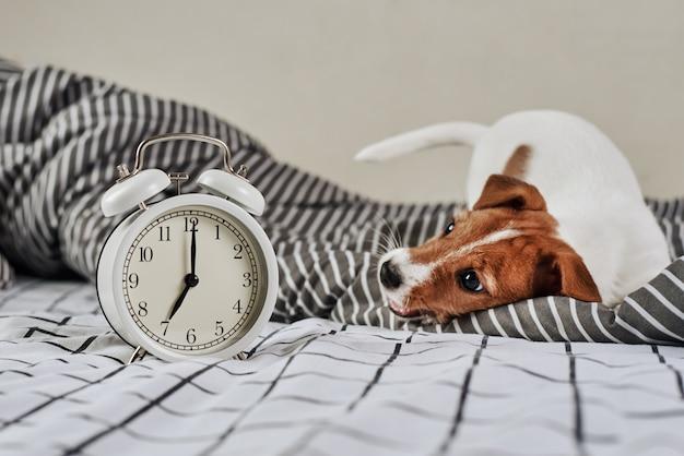 ジャックラッセルテリア犬とベッドでビンテージの目覚まし時計