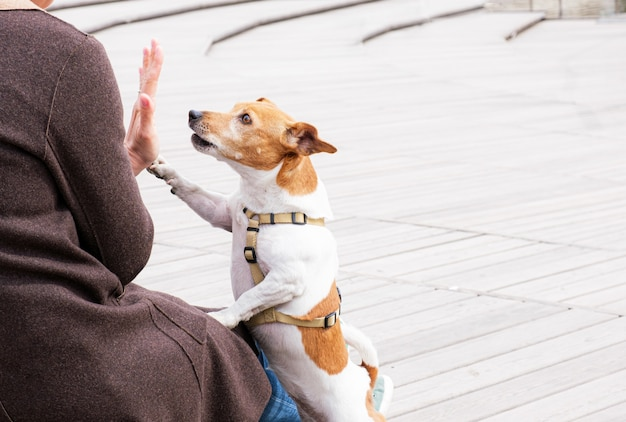 Jack russell terrier dog gives high five to its owner while walking in the park