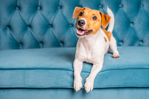 Jack russell terrier dog lies on turquoise velour sofa.