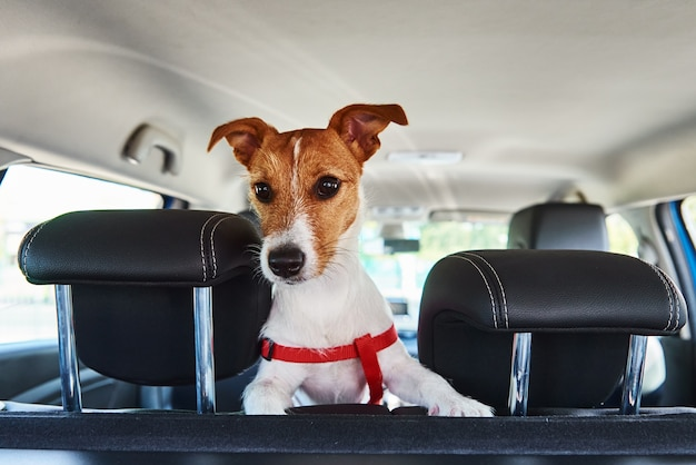 Jack russell terrier dog looking out of car seat
