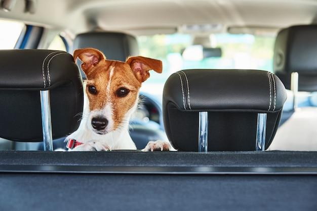 チャイルドシートの外を見ているジャックラッセルテリア犬。犬との旅行