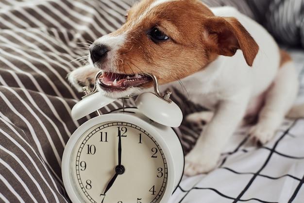 ジャックラッセルテリア犬はベッドでヴィンテージの目覚まし時計をかじります。目を覚ますと朝のコンセプト