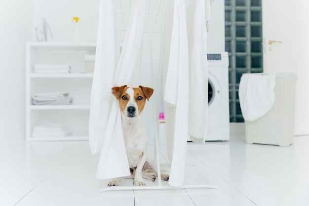 Jack russell terrier dog poses between white towels hanging on clothes dryer in washing room.