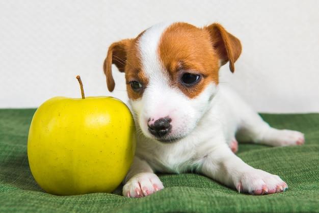 ジャックラッセルテリアの犬の子犬と黄色いリンゴ