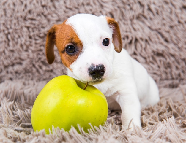 ジャックラッセルテリア犬の子犬とリンゴ