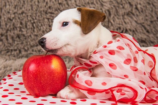 赤いリンゴとジャックラッセルテリア犬の子犬